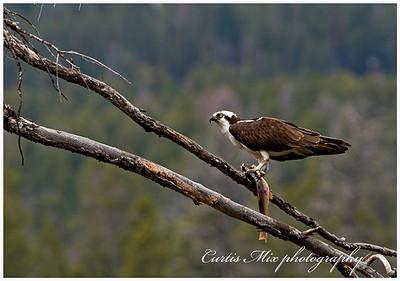 An Osprey eats a Cutthroat Trout.