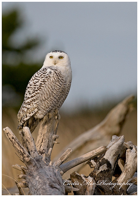 It's very hard to catch them with their eves wide open. Snowy owl.
