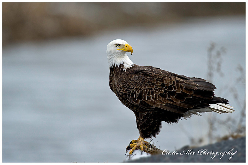 Bald Eagle in the Klamath Basin.