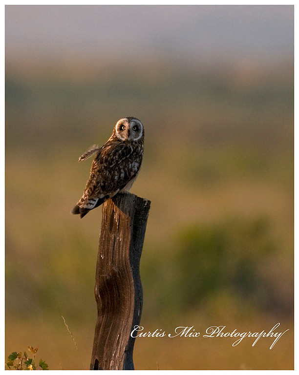 Short eared owl on old fence post.