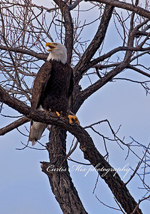 Chatter. Bald Eagle.