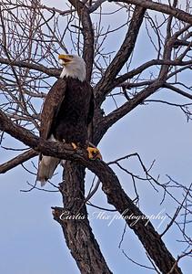 Chatter. Bald Eagle.
