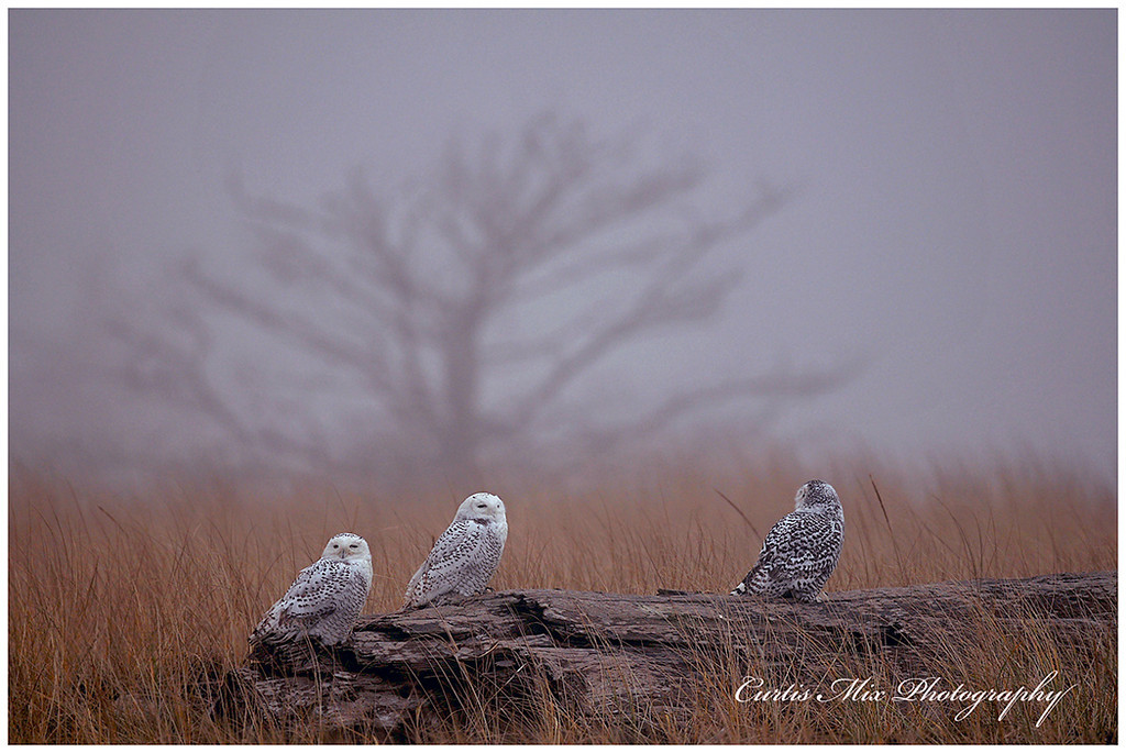 We could see nine Snowy owls from one place on this foggy morning. There were others that were beyond where we could see. In the early morning they were very active flying back and forth to where the other owls were.