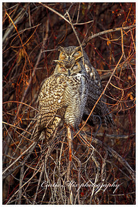 Party animals. Up all night sleep all day. Great Horned Owls.