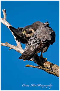 Preening. Peregrine Falcon.