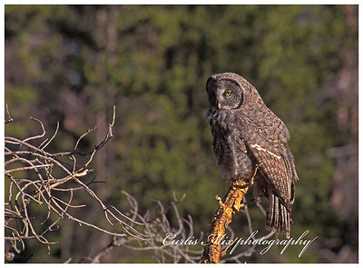 Phantom of the forest. Great Gray Owl.