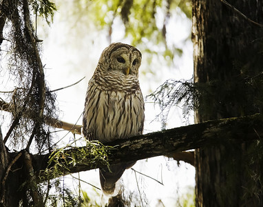 Barred Owl at Lettuce lake park