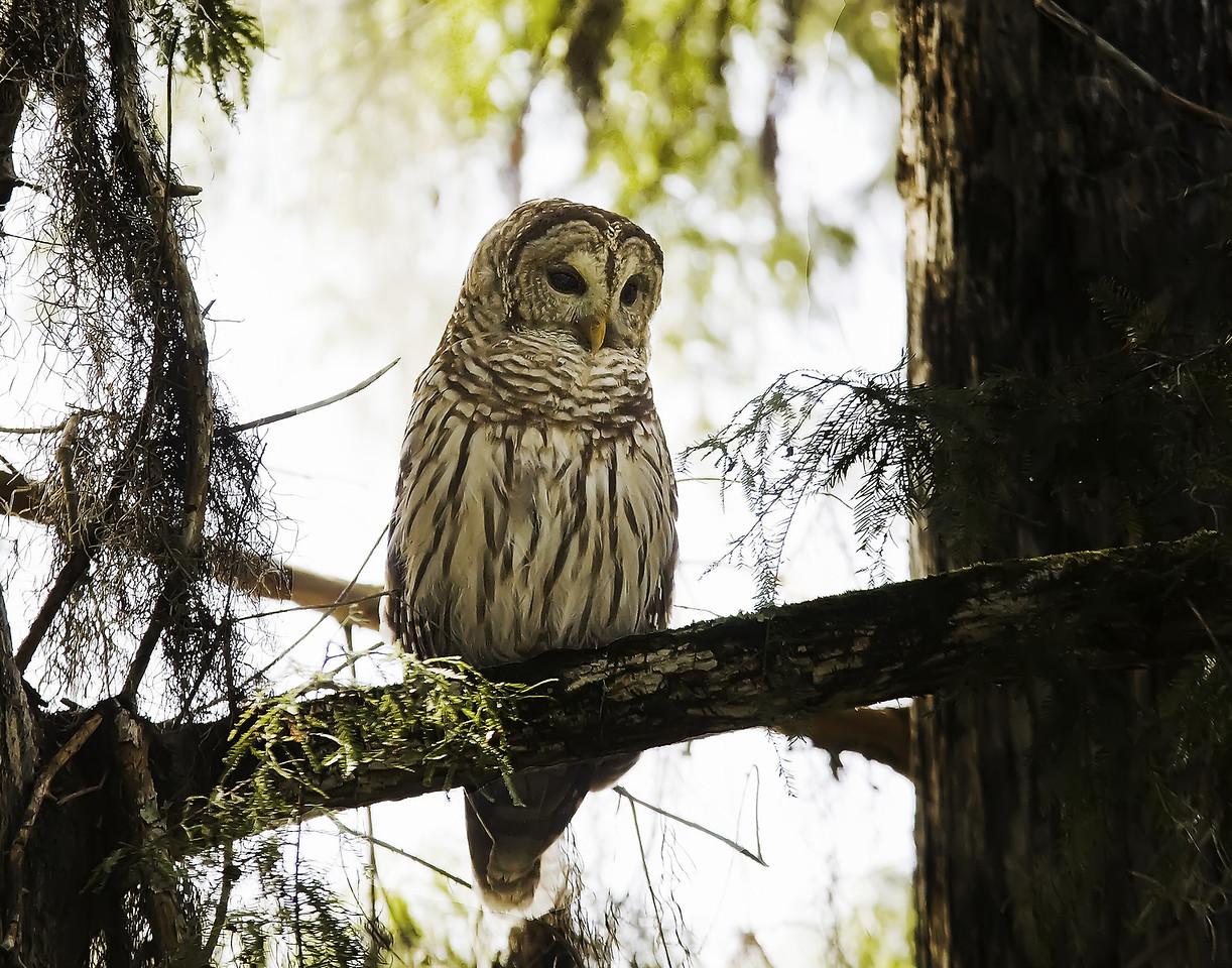 Barred Owl at Lettuce lake park