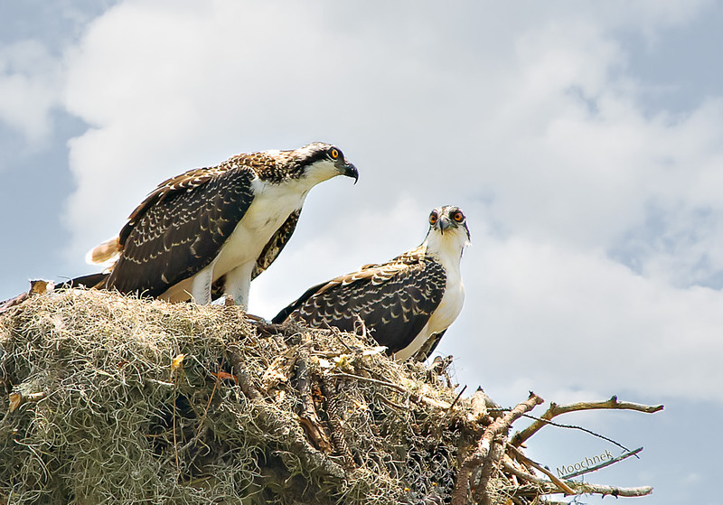 Pair Of Ospreys