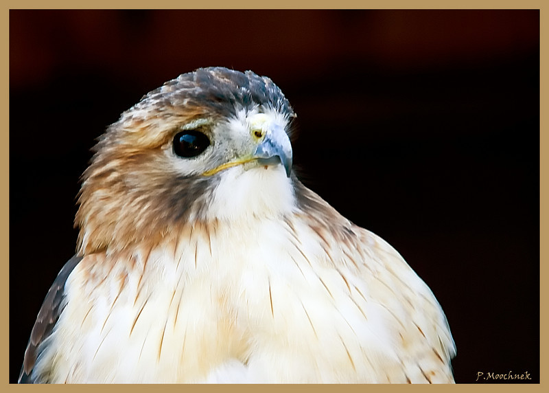 Red Tailed Hawk Profile
