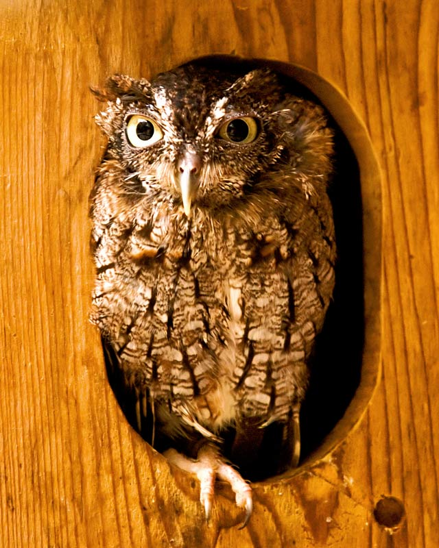 Screech Owl In His Home