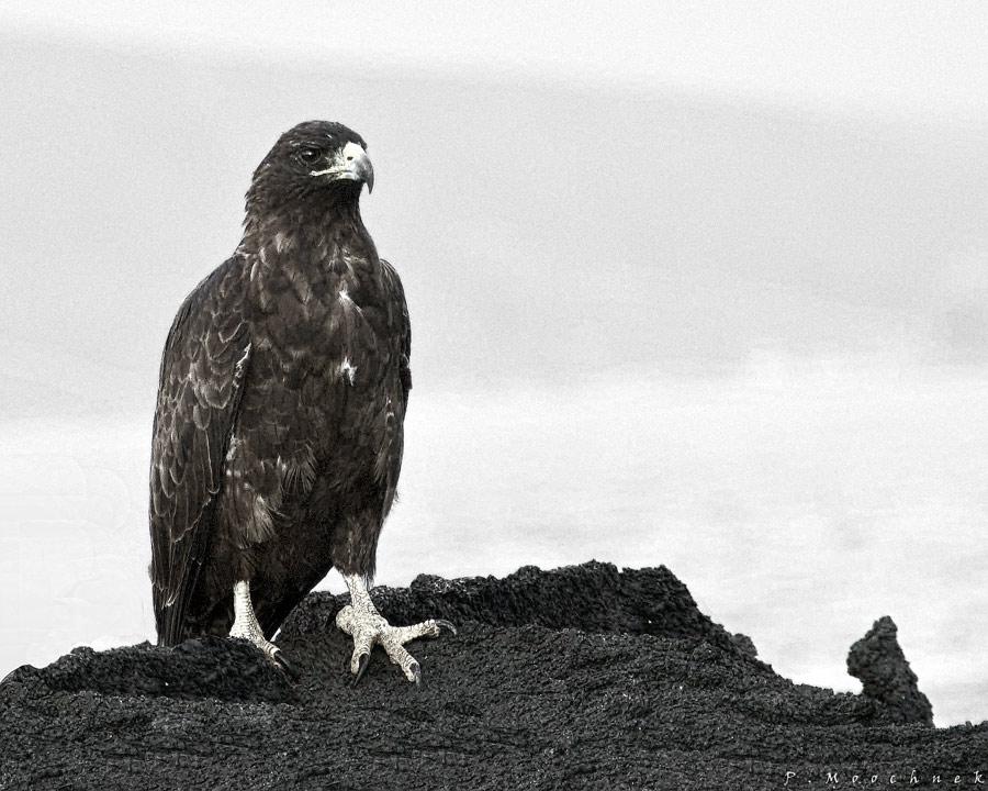 Galapagos Hawk Lthograph