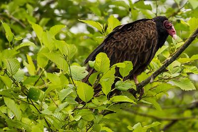 Turkey Vulture surveying its roadkill breakfast.  Photo taken along SR 504 near Mt. St. Helens in Washington.