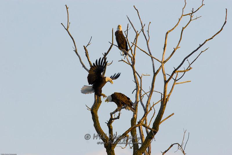 Posturing Eagles-7299