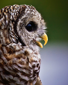 Barred Owl  09 17 10  057 - Edit