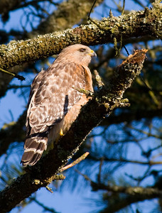 Red-shouldered Hawk from the backyard