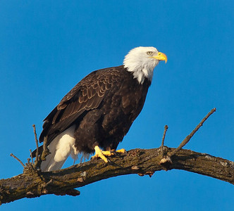 Bald Eagle  01 13 10  145 - Edit