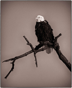 Bald Eagle  01 13 10  219 - Edit - Edit-2