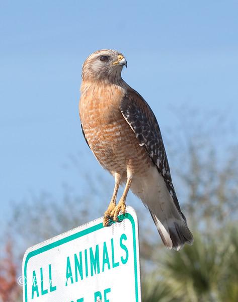 Red-shouldered Hawk, Florida