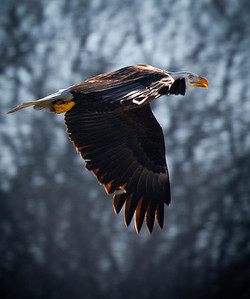 Bald Eagle  01 13 10  087 - Edit
