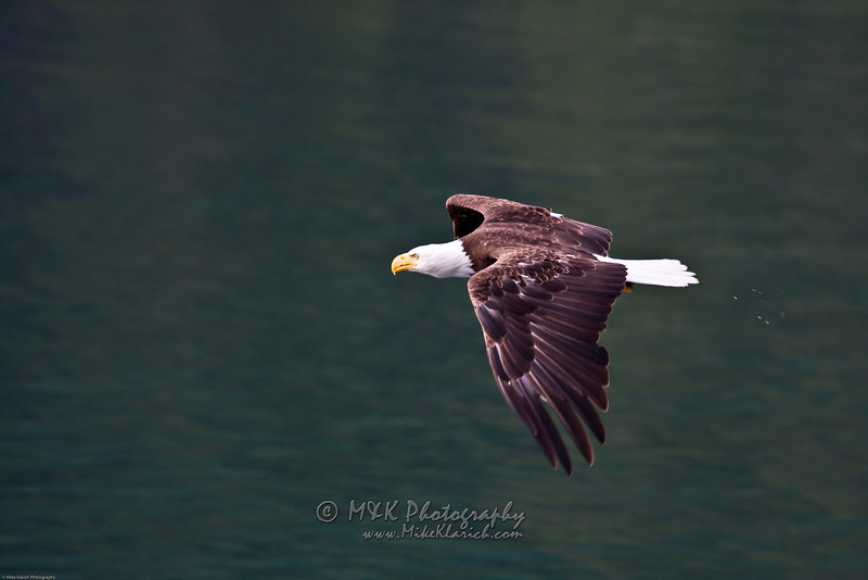 Washington Bald Eagle-0971