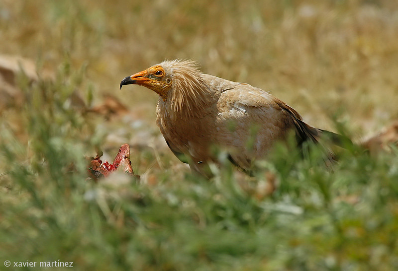 "<center>Neophron percnopterus <font size=""1"">Alimoche Común Egyptian Vulture  <i>clic en la foto para ampliar · click in the image to enlarge"