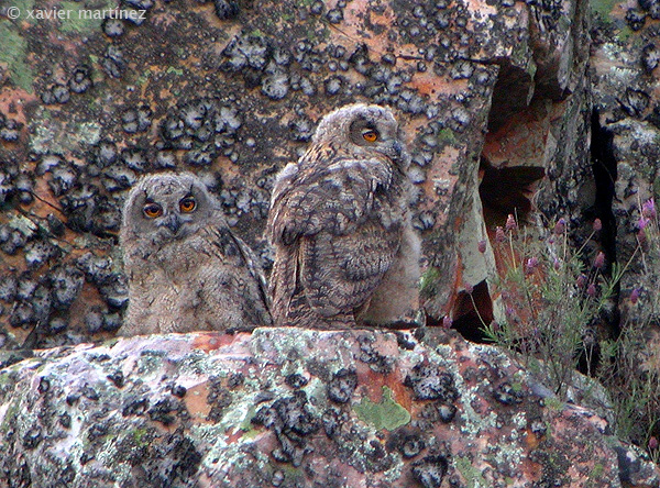"<center>Bubo bubo <font size=""1"">Búho Real Eagle Owl  <i>clic en la foto para ampliar · click in the image to enlarge"