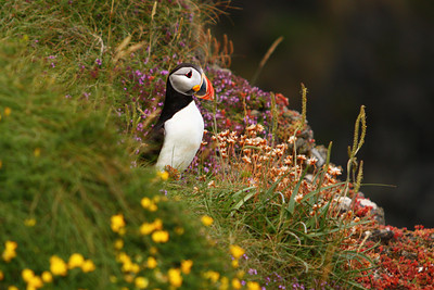 """my award winning shot """"Puffin in the flowers"""""""