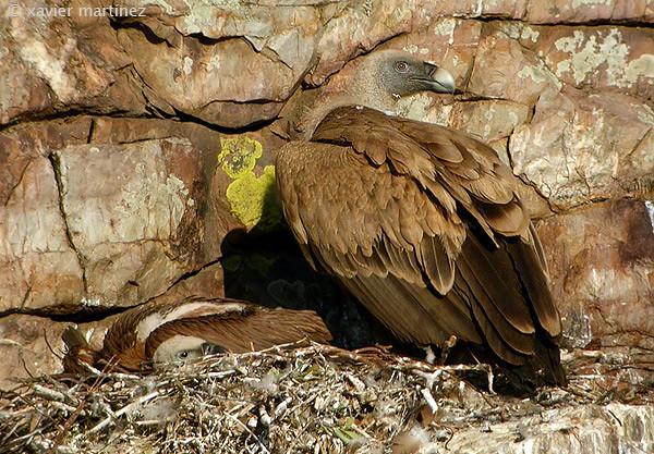 "<center>Gyps fulvus <font size=""1"">Buitre Leonado Griffon Vulture  <i>clic en la foto para ampliar · click in the image to enlarge"