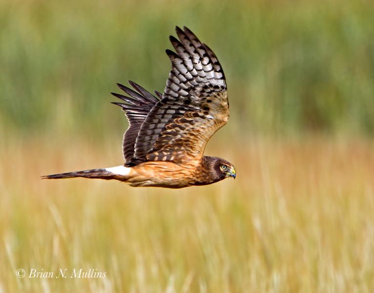 Northern Harrier (female) soars just above the salt marsh.