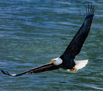 Bald Eagle  01 11 10  043 - Edit - Edit-3
