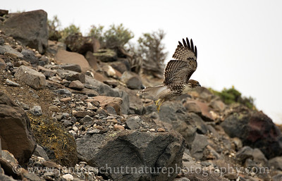 Juvenile Red-tailed Hawk with light morph coloring.  Photo taken at the Frenchman Coulee, near Vantage, Washington.