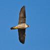 Peregrine Falcon - Speeding Bullet