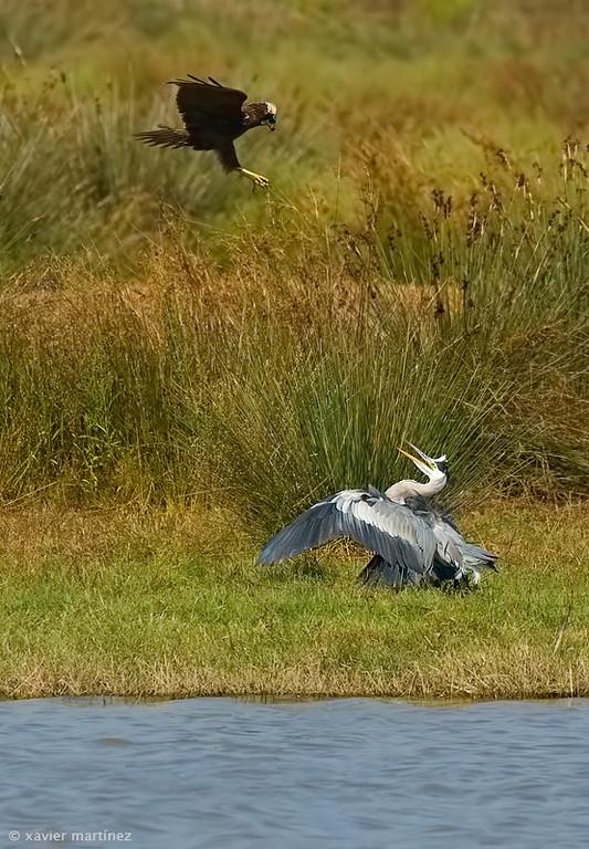 "<center>Circus aeroginosus <font size=""1"">Aguilucho Lagunero Occidental Marsh Harrier  <i>clic en la foto para ampliar · click in the image to enlarge"