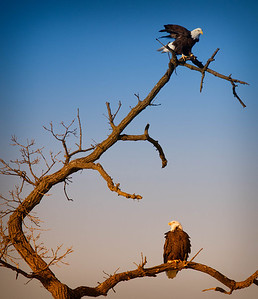 Bald Eagle  01 13 10  214 - Edit - Edit