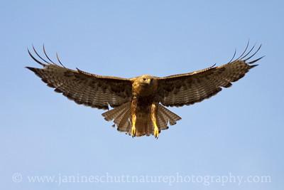 Swainson's Hawk on the Waterville Plateau in eastern Washington.