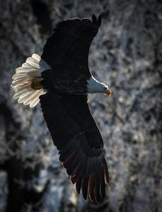 Bald Eagle  01 10 10  034