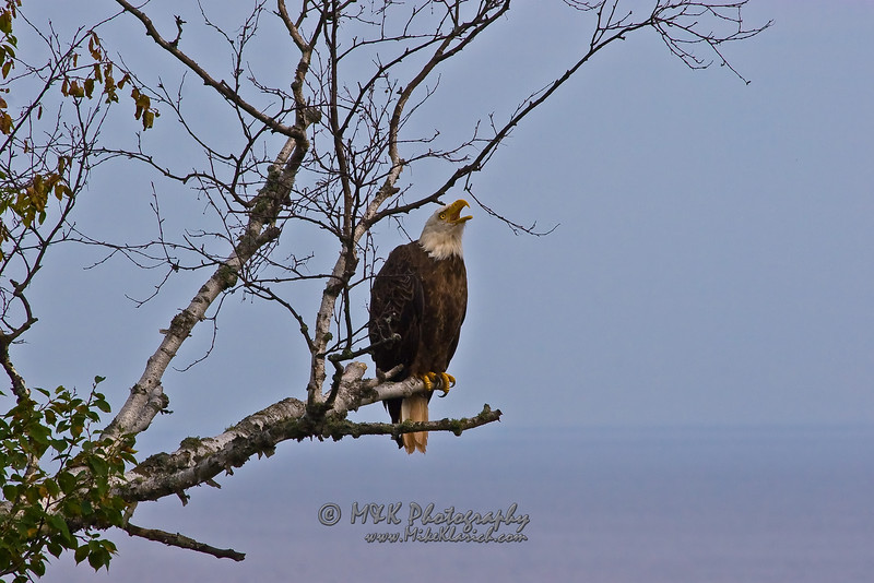 Lake Superior Eagle