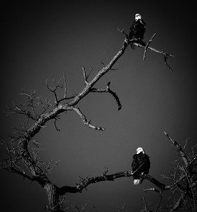 Bald Eagle  01 13 10  227 - Edit