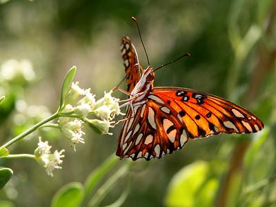 monarch, Pensacola Beach every October