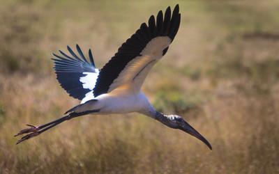 Florida Wood Stork, Lake Wales, Fl