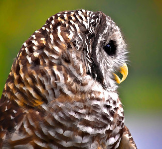 Barred Owl  09 17 10  028 - Edit
