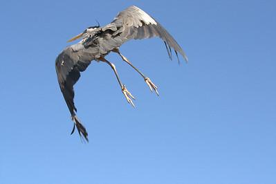 lift off, Blue Heron