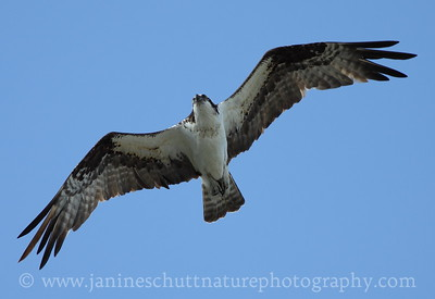 Osprey in flight.  Photo taken in Silverdale, Washington.