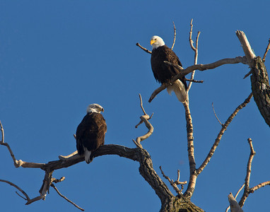 Bald Eagles perched along the Mississippi, Clinton, Iowa