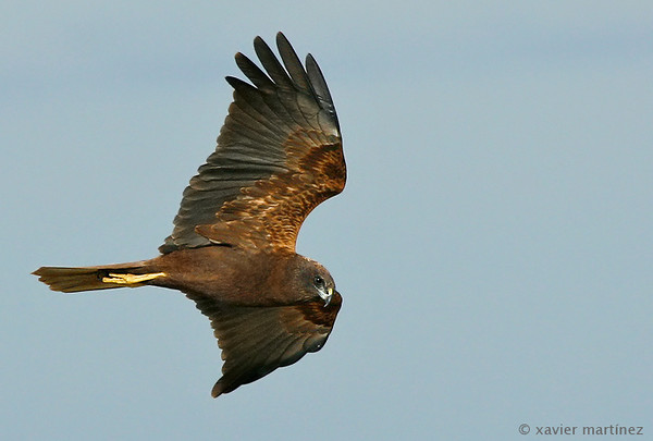"<center>Circus aeroginosus <font size=""1"">Aguilucho Lagunero Occidental Marsh Harrier  <i>clic en la foto para ampliar · click in the image to enlarge"