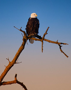 Bald Eagle  01 13 10  235 - Edit