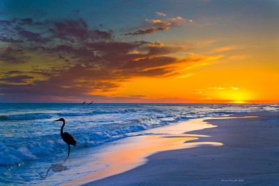 Blue heron waiting in the surf