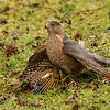 Red shouldered hawk spotted in our backyard in Brandermill with its prey, a northern flicker.  Prey was still alive and flapping.  As I approached the hawk flew off with the flicker clutched in its talons.  Eventually he dropped it and flew off, but circled back to grab it again.  Thanks to Ann Brooks for her expert help in naming the cast of characters.