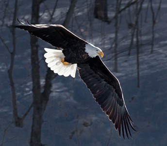 Bald Eagle  01 11 10  004 - Edit - Edit-2